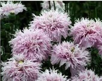 Lilac Pompom Poppy, Pom Pom Poppy, Large Flower, Something Different for Your Garden, 25 Seeds