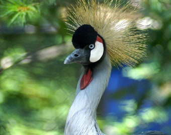 AFRICAN CROWNED CRANE  5x7 photo greeting card