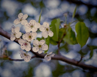Spring Pear Bloom - Digital Image Download - Nature Photography - Digital License Included