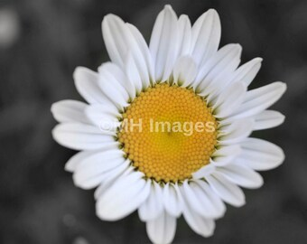 Daisy Photo, Flower Print, Nature Photography , floral Photo, White and Yellow Flower