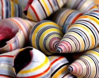 Haitian Candy Seashells