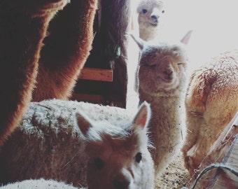 Alpaca rug yarn, cored yarn, 100% alpaca, light brown