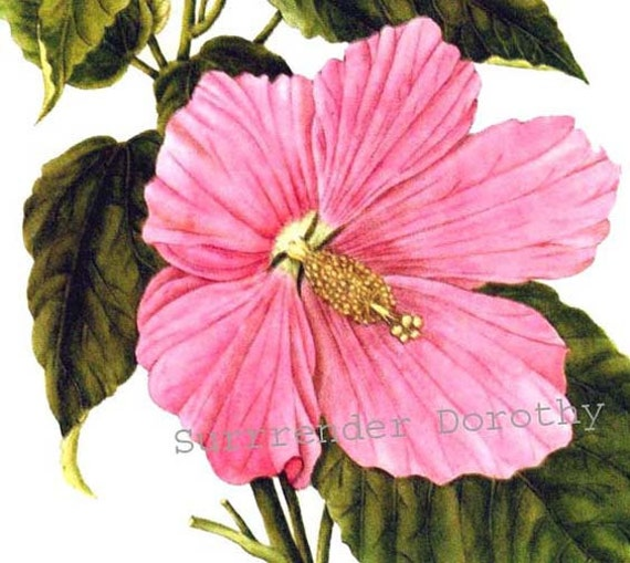 Hibiscus rose mallow flower vintage 1955 botanical lithograph mightylinksfo