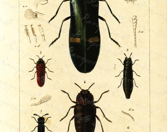 Original Antique Hand Colored Insects  engraving from 1829 - Insects - Roaches ?