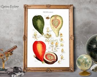 Fig Art Print, Kitchen Fig Print, Fruit Prints, Rustic Botany Prints, Antique Fig Print, Fig Posters, Fig Decor - E14s12