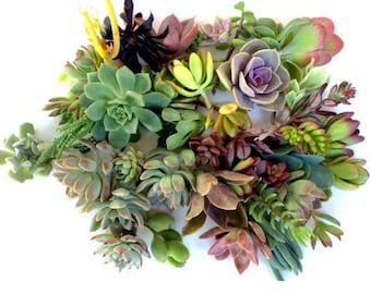 100 succulent cuttings succulent clippings mixed succulent cuttings succulent kit succulent plant cuttings