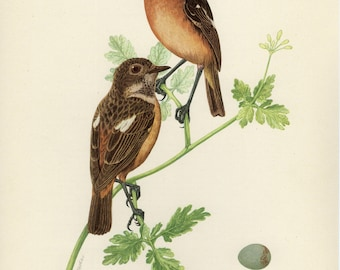 Vintage lithograph of the European stonechat from 1953