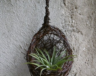 Medium tillandsia air plant, daughter of the air