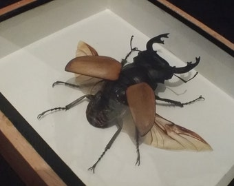 Framed stag beetle