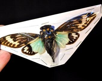 OVERSTOCK: spread Tosena splendida blue real Cicadas