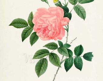 Rose Flower Art Print, Rose Botanical Art Print, Flower Print, Floral Print, Redoute art, pink, Rosa Indica