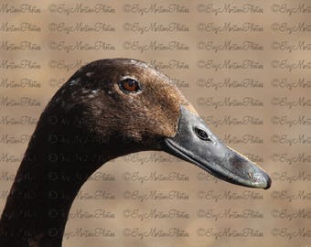 Smiling duck (8 x 12 Matte poster)