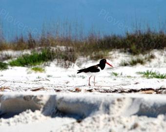 Oystercatcher Photograph // Shorebird on Beach Photo // Florida Nature Bird Photography Print