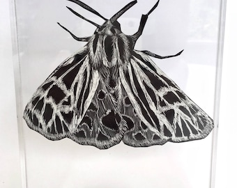 "Original ""Virgin Tiger Moth"" Scratchboard Artwork in Acrylic Block Frame"