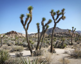 Joshua Tree photo, Joshua Tree canvas, Joshua Tree print, Joshua tree art, California photo, Palm Springs photo