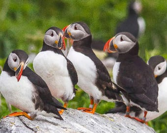 Family of Puffins