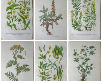 Yellow Medical Plants book pages Set of 6 botanical soviet drawings Drug Wildflower illustration Paper Ephemera Prints USSR Craft Supplies