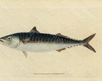 Original Antique Natural History Fish engraving Edwards DONAVON Natural history