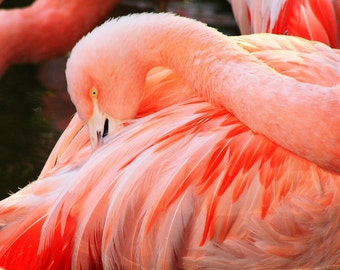 Pink Flamingo, Atlanta Zoo, Flamingo, Pinks