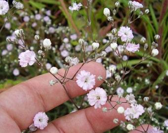 Heirloom 600 Seeds Gypsophila Rosea Pink Babys breath Bulk Flower Seeds B2070