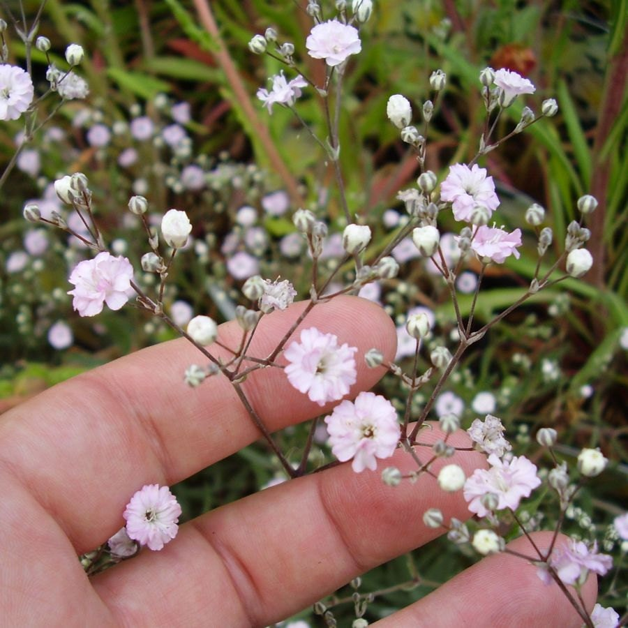 Heirloom 600 Seeds Gypsophila Rosea Pink Babys Breath Bulk Flower