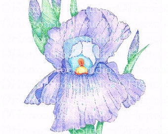 Blue purple Bearded Iris Spring Bulb Garden