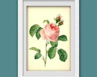 Vintage rose print, Pink Rose digital botanical print pdf, Rose illustration, 8x11 wall art, Instant Download No 62