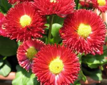 100 RED ENGLISH DAISY Bellis Perennis Double Flower Seeds *Flat Shipping