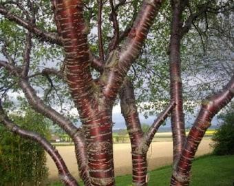 Paperbark Cherry Tree Seeds, Prunus serrula - 25 Seeds