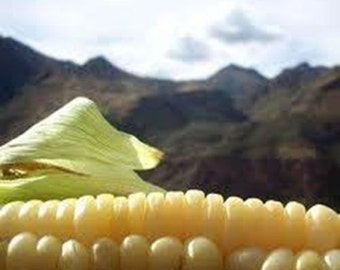 35 Peruvian Giant Yellow Corn Seeds-1136B