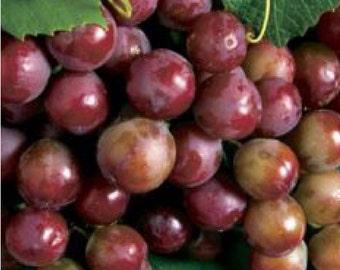 5 Catawba Grape 1 year   bareroot vine