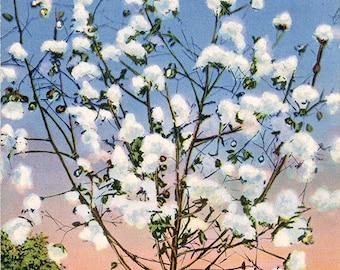 Southern Cotton Stalk Loaded with Cotton Botanical Vintage Postcard (unused)