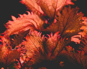 Nature Photography,coleus,nature home decor,brilliant colored leaves,glowing,sunset,coral,burnt orange,flames,plant photo,dramatic print