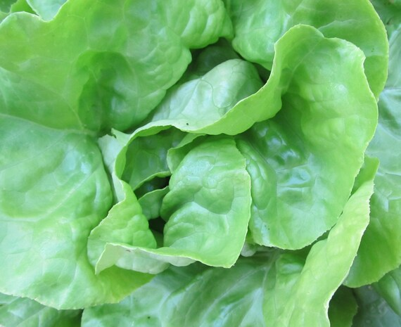 Lettuce: Divina