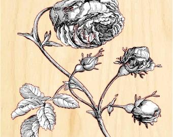 Photo Print on Wood - Vintage Cabbage Rose