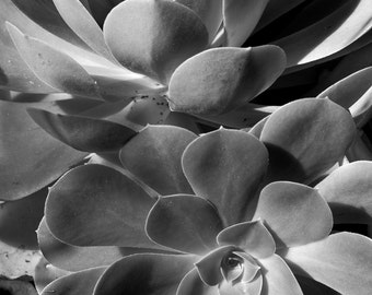 Succulents -  fine art black and white photography - large succulent plants from the garden.  11x14