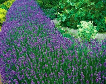Lavender Lover's Mix--One of each of our 4 Lavenders, in a 4 inch Pot