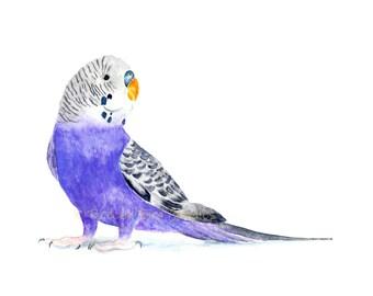 Budgerigar Print, Watercolour Budgerigar, The Common Parakeet, Shell Parakeet Art, Budgie Illustration, Purple Parrot Print
