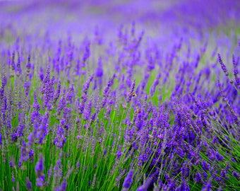 Lavender & Bees - Photographic Art Print