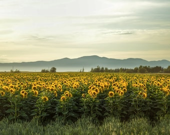 Sunflowers and Mountains Print