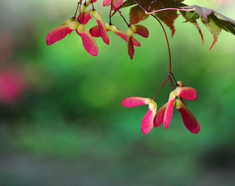 Japanese Maple red and green christmas colors fine art photograph