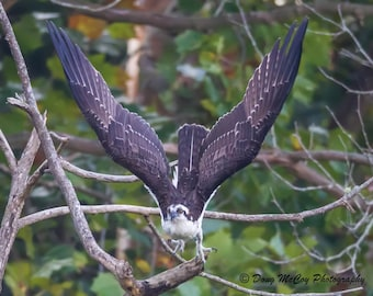 Osprey at Lake Cumberland KY #3274