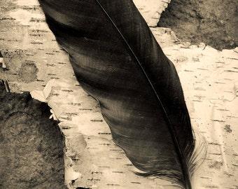 crow and birch, 8x10 fine art black & white photograph, nature