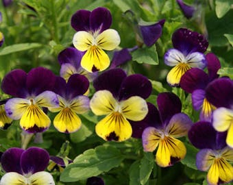 50+  VIOLA Johnny Jump Up, Helen Mount / aka Pansy or Violet / Houseplant and Edible  Perennial Flower Seeds