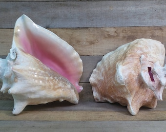 Wholesale Pink Conch Edged with Slit, Bahamas, Bulk, Queen Conch, Natural, Home Decor, Events, Parties, Crafts