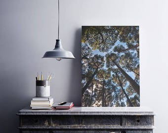 Look Up. Beautiful tall trees reaching the blue sky. Great natural feeling. Perfect for home decor
