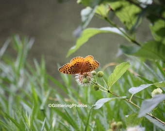 Silver Bordered Fritillary, Butterfly Photograph, Henryville, Clark County, Indiana, Fine Art Photography, Woodland Photogrpahy, Glossy