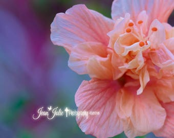 """Flower Photography, Nature Photography, Hibiscus Photo, Peach and Lilac Home Decor, Summer Fine Art Print """"Aloha"""""""