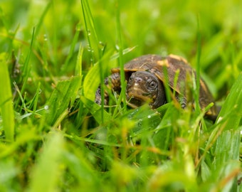 Baby Box Turtle Fine Art Photo Print - Wildlife Photography - Bird Photography - Nature Photography - Gifts for Nature Lovers
