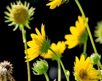 Yellow Daisy, Floral, Wall Decor, Fine Art Photography, Digital Download, Printable Art